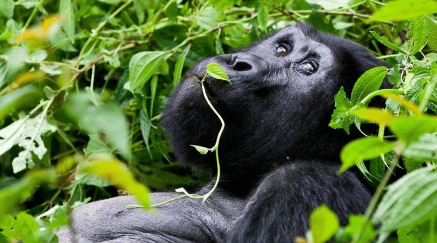 Silverback-Gorilla-Bwindi-Uganda