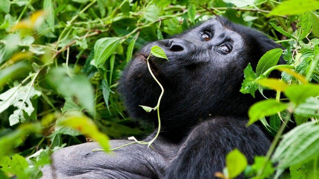 Berggorilla-Safari