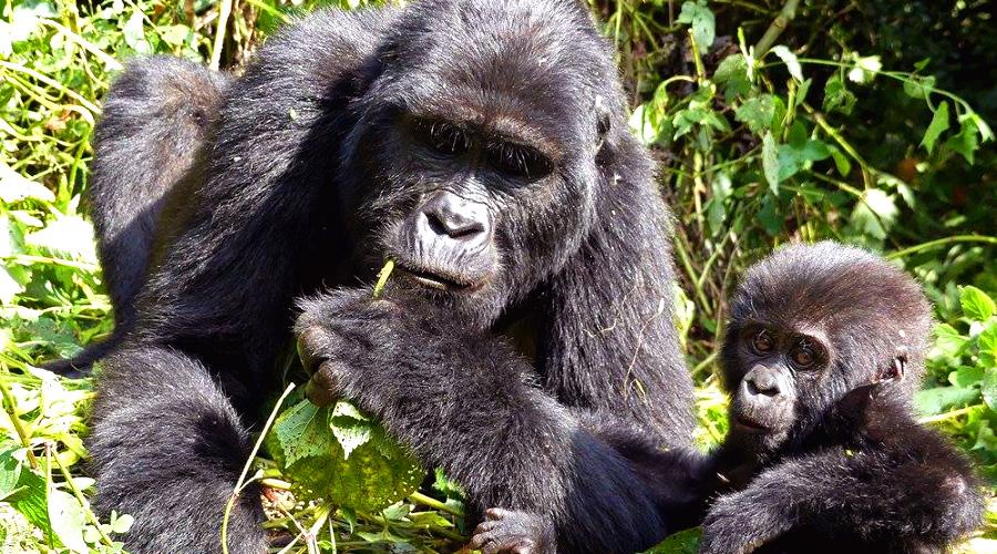 Gorilla mit baby Bwindi